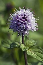SEEDS 40 graines de MENTHE D'EAU (Mentha Aquatica) WATER MINT SEMILLAS SEMI