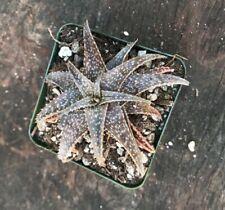 NICE A+++ Aloe Cultivar cv ' HEY BABE ' RARE UNIQUE BLUE Aloe Succulent