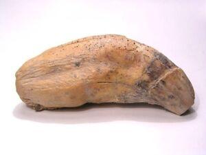 Cave Bear Ursus Spelaeus fossil tooth Pleistocene Romania 3 5/8 inch RARE jd85