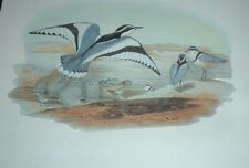 1969 EGYPTIAN PLOVER John Gould Color Lithograph Print Asian Bird