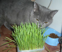 Grass for Cats. Seeds from Ukraine. 350 SEEDS