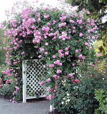 ROSE CLIMBER COLOUR PINK100 SEEDS FULL GROWING INSTRUCTIONS
