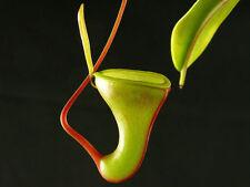 10 semi di  NEPENTHES DUBIA    semi di pianta carnivora