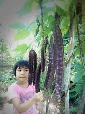 Purple Winged bean seeds Giant Goa bean Princess bean vegetable