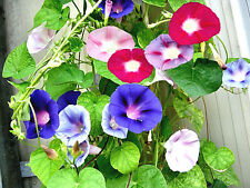SEMI MORNING GLORY IPOMEA CAMPANELLA RAMPICANTE MULTI COLORE 30 SEEDS IPOMOEA