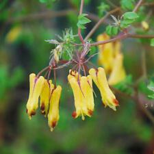 Dicentra Torulosa - 20 Seeds - Bleeding Heart - Climber