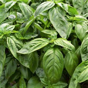 Sweet Large Leaf Italian Basil Seeds   Herb Garden Basilic Genovese Seed 2022