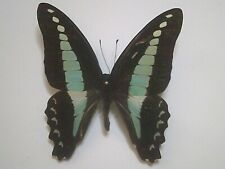 Insect/Butterfly/Moth Set/Spread B5880 Blue/Green/Red Graphium sarpedon 6.5 cm