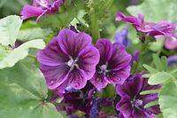 Baden Sie in den Blüten der schönen i! Mauretanische Malve !i Samen Saatgut Exot