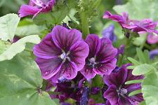 Baden Sie in den Blüten der schönen Mauretanische Malve.