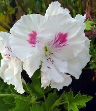"Regal Pelargonium ""Sandy"" x 1 plant. Ask for combined postage"
