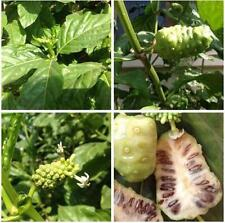 Noni Indian Mulberry Cheese Fruit Great For The Body And Mind 100 Seeds FromThai