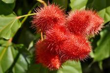 Wunderschöne Blume: roter Annatto - auch zum Färben von Essen geeignet !