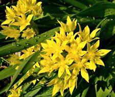20 x Vibrant Allium moly bulbs (Sunshine Allium, yellow flower)