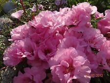 Godetia (Godetsiya) Grandiflora Catley Flower Seeds from Ukraine