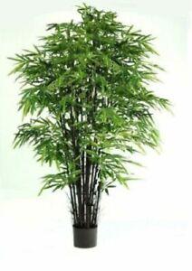 Kalkutta Bambus schnellwüchsige Pflanzen immergrüne Palmen für den Blumentopf !