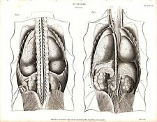 1814 DATED PRINT ANATOMY ~ VISCERA ~ INTERNAL ORGANS ABDOMINAL SPINE