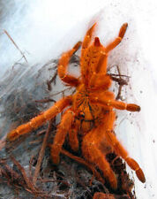 Pterinochilus murinus Usambara Orange Baboon 6-8cm LIVEFOOD