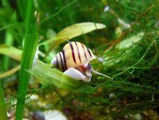Lumaca lumache acquario acqua dolce Asolene Spixi ampullaria zebra