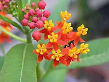 Scarlet Tropical Milkweed Plant (Aslepias Curassavica) : Monarch Host Plant