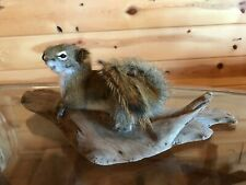 Beautiful Adorable Red Squirrel Small Animal Taxidermy Mount Art Wildlife