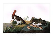 Moorschneehuhn Lagopus lagopus Willow Ptarmigan Raufußhühner Audubon A2 121