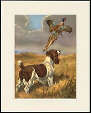 ENGLISH SPRINGER SPANIEL AND PHEASANT GREAT DOG PRINT MOUNTED READY TO FRAME
