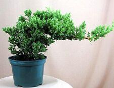 Japanese Bonsai Tree Pot Nana live Flowering House Plant Indoor Garden New