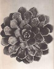 Karl Blossfeldt - Wunder In Der Natur 1942 Vintage Gravure  Saxifraga Aizoon #51