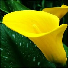 Calla Lily Bulbs, Not Seed, Rare Beautiful Flower Bulbs, Yellow, Ship USPS