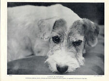 SEALYHAM TERRIER LOVELY HEAD STUDY OLD 1934 DOG PRINT