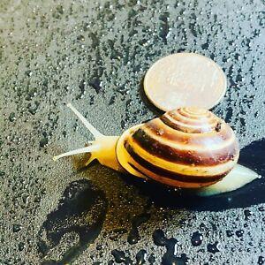 (1) ONE Live Land Milk Snail Otala Lactea XL ,Breeder,Pet,Edu + FREE GIFT🎁