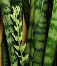 Qty 2: Snake Plant Clean Air Purifier Sansieveria Mother-in-law Tongue FREE SHIP