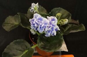 African violet Blue Mist live plant in pot