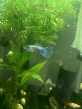 New listing Guppy Tropical Fish 12 Fish Total
