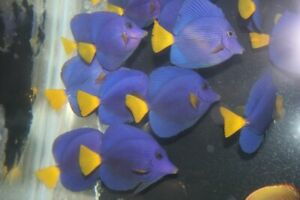 Red Sea Purple Tang-Live saltwater fish