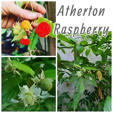 ATHERTON RASPBERRY – RUBUS PROBUS - AUST BUSH TUCKER- berry plant ( small)