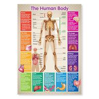 A3 Laminated Educational Poster Human Body Skeleton Teaching Resource
