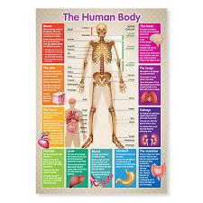 A3 Laminado Cuerpo Humano Esqueleto cartelón