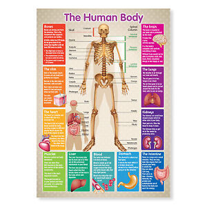A4 Laminated Educational Poster Human Body Skeleton Teaching Resource