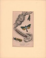 Exotic Moth, Caterpillar, hand colored engraving, print, matted, Jardine, 1845