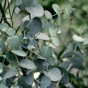 Eucalyptus gunnii silver drop 30 seeds