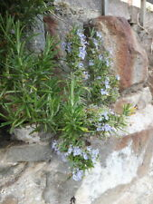 Heirloom Rosemary Seeds - 50+ All Natural