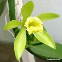 TS85 Vanilla planifolia Bare Root Fragrant S369