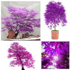 40 Stück Lila Ahornsamen Japanischer Ahornbaum Bonsai Samen Garten Bonsai Dekor