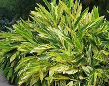 Variegated Shell Ginger - 1 Plants - Ship in 1 Gal Pot