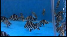 Sumatra Datnoid grade A Clean Stable 4 bar 3-4inch Tiger Fish