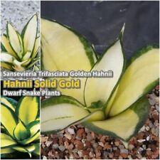 "Sansevieria Trifasciata Plant Hahnii Solid Gold Exotic Dwarf Snake Tall 5"" Rare"