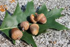 Rare swamp oak seeds. Marsh oak acorns 10 Fresh Seeds 2019