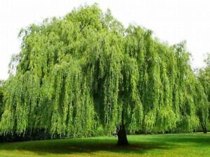 """35 Weeping Willow Tree Cuttings """" Free Shipping"""""""